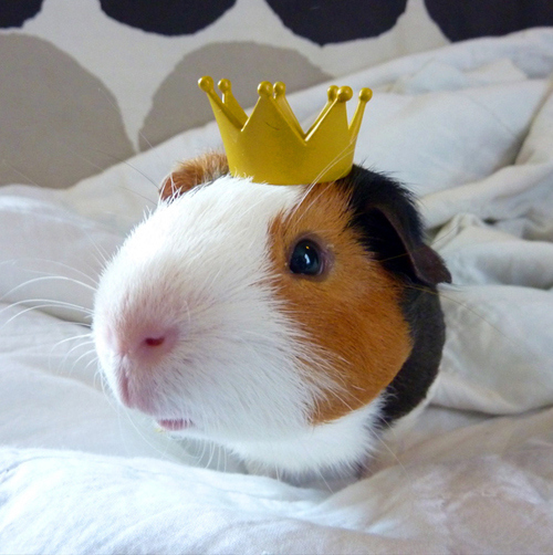 Guinea Pigs Wearing Hats Fuzzy Today