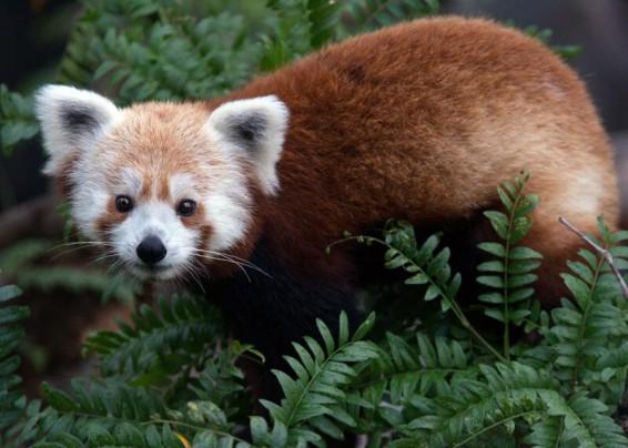 rusty-panda