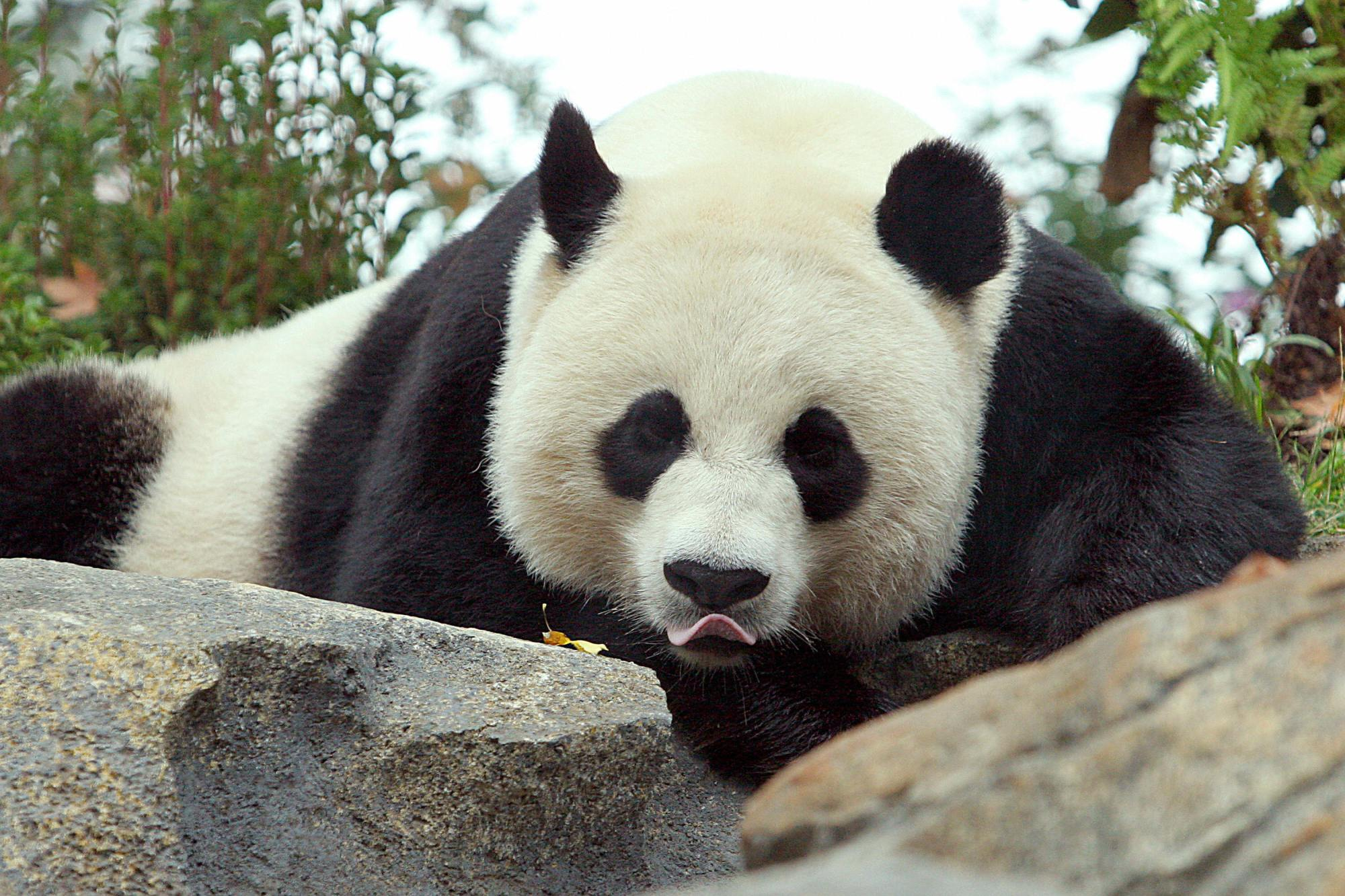Mei Xiang, a Giant Panda is seen during